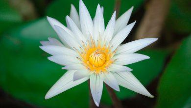 lotus-2525032_1920